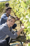 Young harvesters in vineyards Royalty Free Stock Image