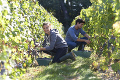 Young harvesters in vineyards working Royalty Free Stock Image