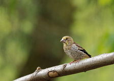 Young Hawfinch sitting. Poland in June.Young Hawfinch sitting on the branch and waiting for the female with food Royalty Free Stock Images