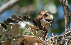 Young hawk. In the nest Royalty Free Stock Photography