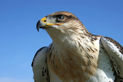 Young Hawk royalty free stock photo