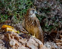 Young Hawk eating in his habitat. Close-up young Hawk eating in his habitat natural stock photography