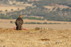 Young hawk feeds on the field Royalty Free Stock Photo