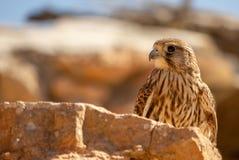 Young Hawk in his habitat. Close-up young Hawk in his habitat natural stock images