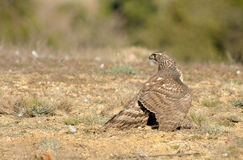 young hawk lands on the ground Stock Photography