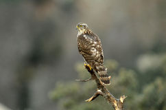 young hawk perched on a branch Stock Photo