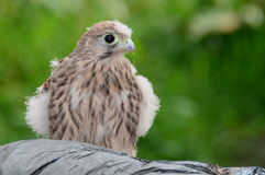 Young hawk. Portrait of a baby hawk stock image