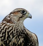 Young hawk portrait in summer time. Outdoor Stock Photos