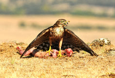 Young hawk poses with food in the field Royalty Free Stock Photo