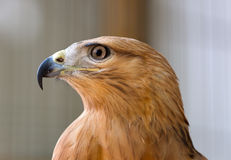Young hawk Stock Photography