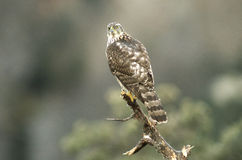 Young hawk watches from his landlord Stock Photography