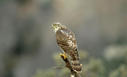Young hawk Royalty Free Stock Photography