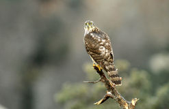 Young hawk watches from the Innkeeper Stock Image