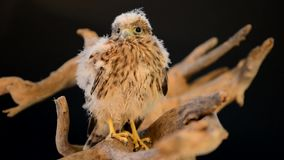 Young hawk on wooden driftwood stock footage