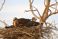 Young hawks in nest Stock Photos