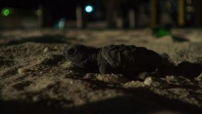 Young hawksbill turtle hatchlings are now disorientated by the lights of the town. Britain. Wildlife concept stock photos