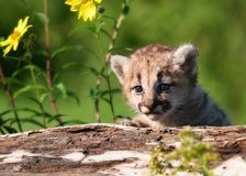 Young mountain lion kitten royalty free stock photography