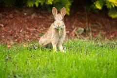 Young Healthy Wild Rabbit eating fresh Grass from  Royalty Free Stock Photos