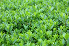 Young Hedge or Hedgerow closely spaced densely planted shrubs with multiple small light green leaves in local garden stock photos