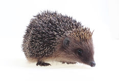 Young hedgehog Stock Image