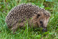 Young hedgehog Royalty Free Stock Images
