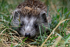 Young hedgehog Royalty Free Stock Image