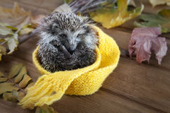 Young hedgehog in autumn leaves Royalty Free Stock Images