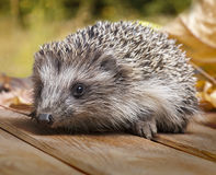 Young hedgehog in autumn leaves Stock Photo