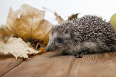 Young hedgehog in autumn leaves Stock Photography