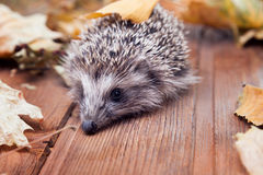 Young hedgehog in autumn leaves Stock Photos