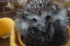 Young hedgehog in autumn leaves Royalty Free Stock Photo