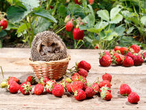 The young hedgehog climbed into the basket. The young hedgehog Atelerix albiventris climbed into the basket next to the strawberries in the garden Royalty Free Stock Photography