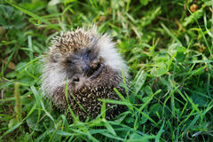 Young hedgehog curtailed into a sphere on a bright green grass Royalty Free Stock Photo