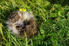 Young hedgehog curtailed into a sphere on a bright green grass Royalty Free Stock Photos