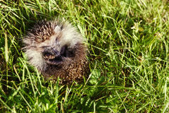 Young hedgehog curtailed into a sphere on a bright green grass Stock Photos