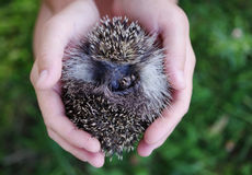 Young hedgehog in female hands Royalty Free Stock Photos