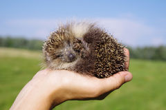 Young hedgehog in female hands Stock Image