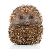 Young Hedgehog in front of white background Stock Images