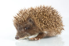 Young hedgehog in front of a white background Royalty Free Stock Image