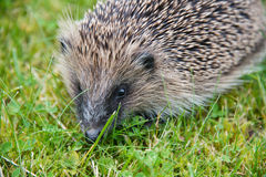 Young hedgehog in garden Stock Photo