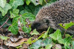 Young hedgehog in garden Stock Images