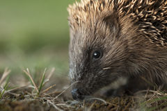 Young hedgehog on the go Royalty Free Stock Image