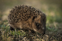 Young hedgehog on the go Royalty Free Stock Photo