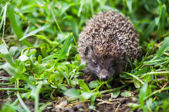 Young hedgehog Stock Images