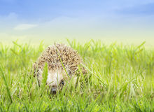 Young hedgehog in grass Stock Image