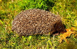 Young hedgehog in the grass Royalty Free Stock Image