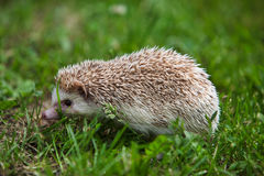 Young hedgehog in the green grass Stock Photography