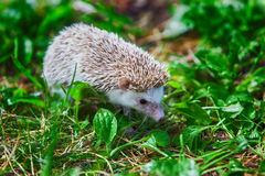 Young hedgehog in the green grass Stock Images