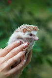 Young hedgehog in hands Royalty Free Stock Images