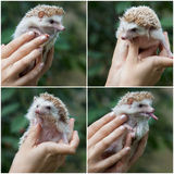 Young hedgehog in hands Stock Image